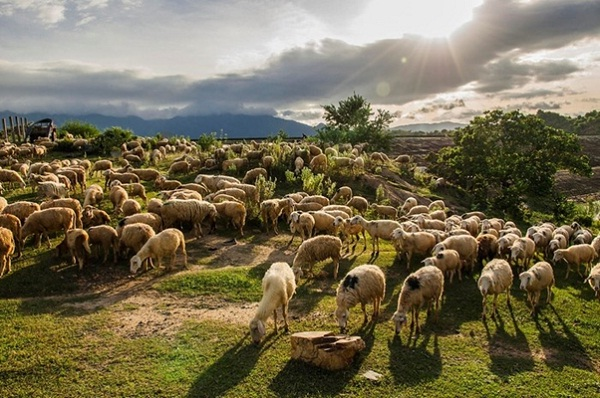 An Hoa sheep field